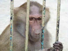 baboon vivisection SAEN