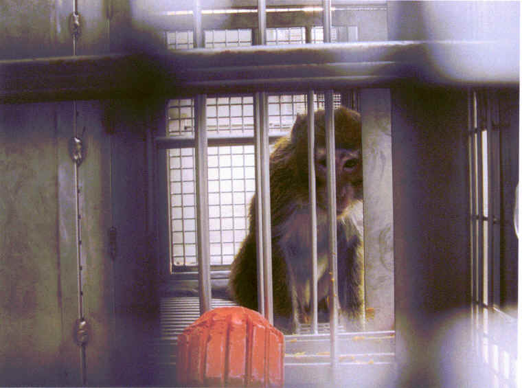 primate vivisection University Washington
