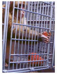 vivisection budkie primate